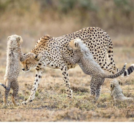 Cheetah Attack!