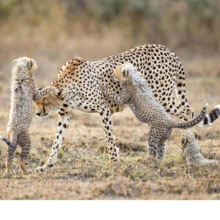 Cheetah Attack!