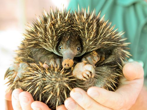 Spiny anteater echidna baby