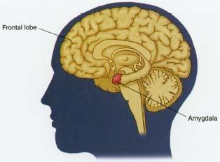 amygdala-prefrontal-cortex-iq.jpg
